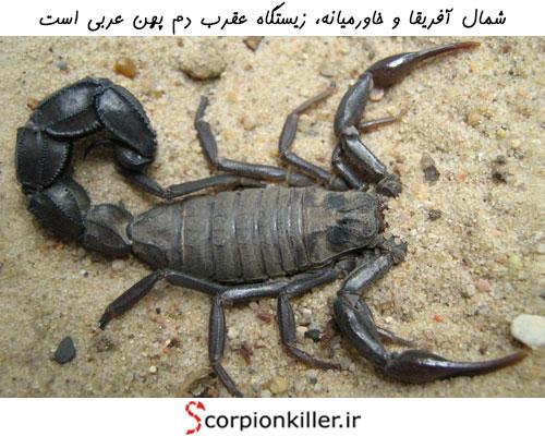 زیستگاه عقرب دم پهن عربی