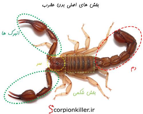 سر، بخش شکمی، دم، پاها و انبرک ها، بخش های اصلی بدن عقرب هستند